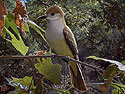 Brown-crested-Flycatcher